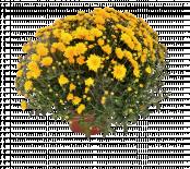 Хризантема ф17см, корона ф40-45 см