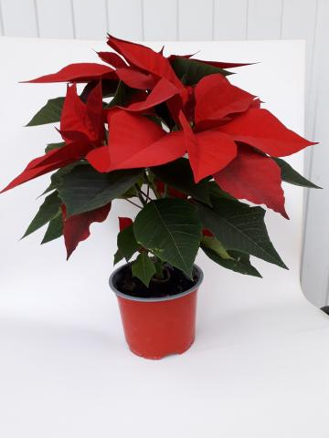 Коледна звезда ф12 см червена
