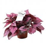 Бегония Beleaf червени листа ф12 см, Н 22,5 см