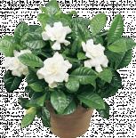 Гардения jasminoides