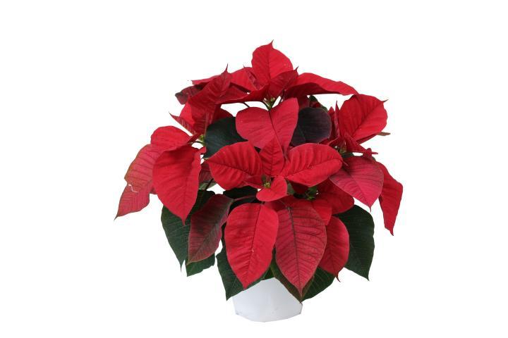Коледна звезда ф13 см червена