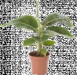 Муза (Банан) 'Tropicana'
