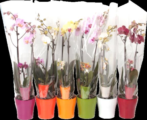 Орхидея Phalaenopsis 2бр.