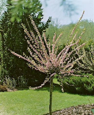Бадем Prunus triloba Ф:23см
