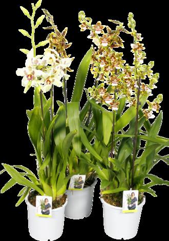Орхидея Cambria, O 19 см.
