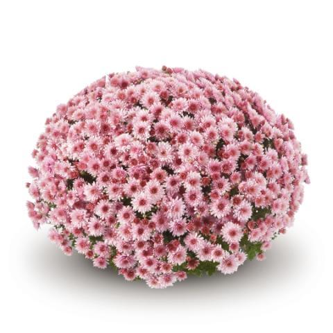 Хризантема, мултифлора ф 24 см