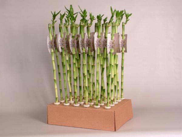 Бамбук на щастие права пръчка