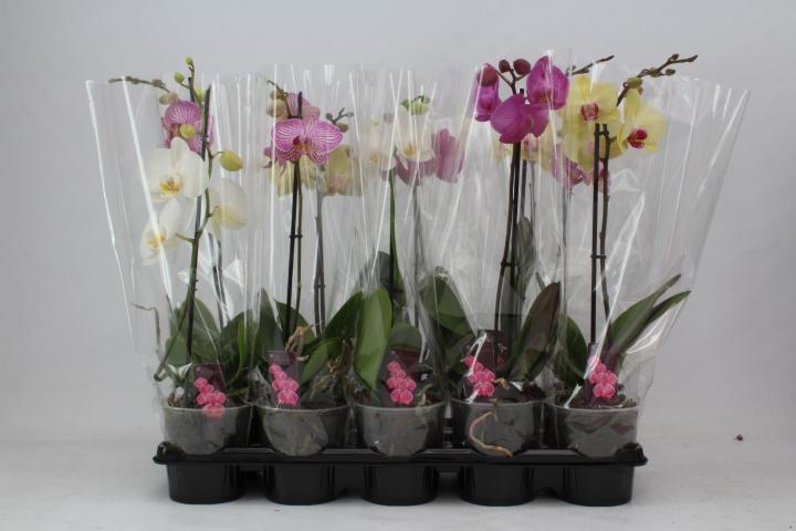Орхидея Фаленопсис ф12/3+, 1 стебло