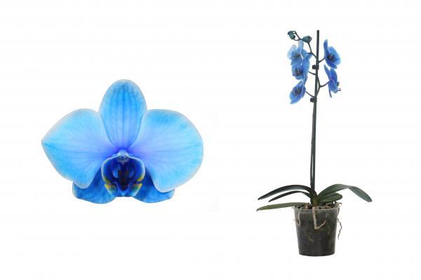 Орхидея Фаленопсис'Royal Blue' ф12 см, Н: 50-70 см