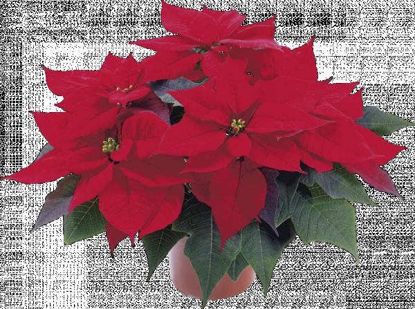 Коледна звезда 15 см