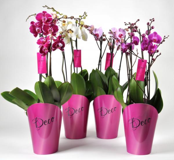 Орхидея Фаленопсис Deco
