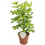 Шефлера arboricola Gerda Ф13/Н:45см