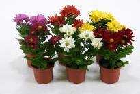 Хризантема микс ф9 см, Н:20-25 см