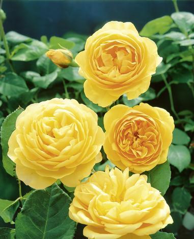 Английска роза С5.5 л.