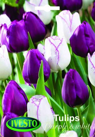 Лукувици Лале NORMAL Purple end white mix