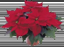 Коледна звезда ф12