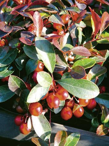 Микс вечнозелени храсти С 1,5