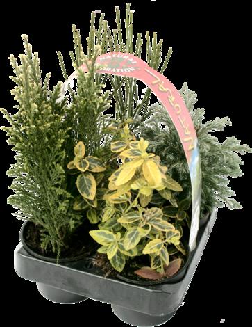 Иглолистни растения микс 4бр, ф9см