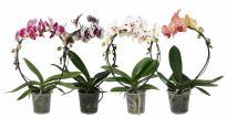Орхидея Фаленопсис Дъга 2 стебла, 12+ цвята