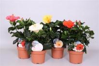 Хибискус роза-синенсис ф13/Н:30 см