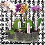 Орхидея Фаленопсис микс ф9/Н:28-38, 6+