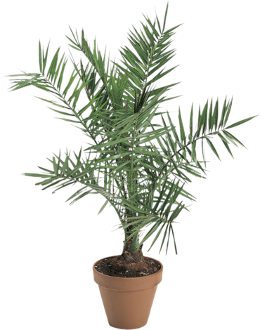 Финикова палма Ф22