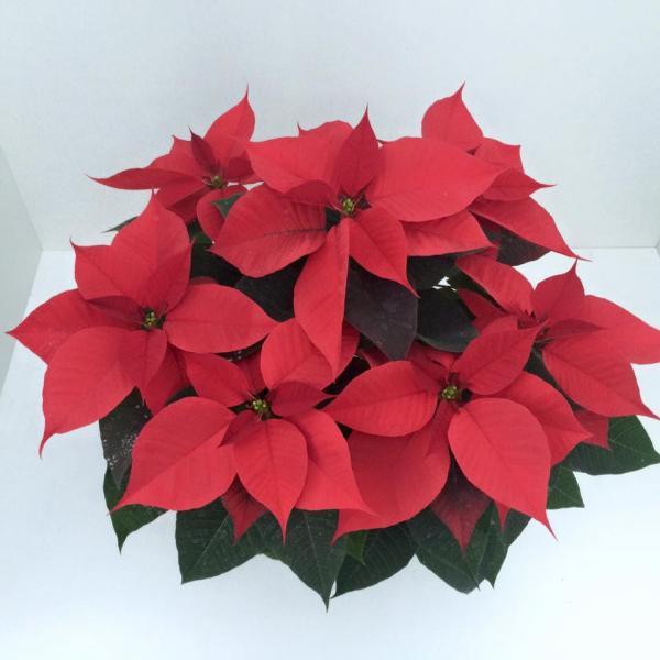 Коледна звезда ф15 см червена