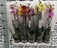 Орхидея Фаленопсис Bonito